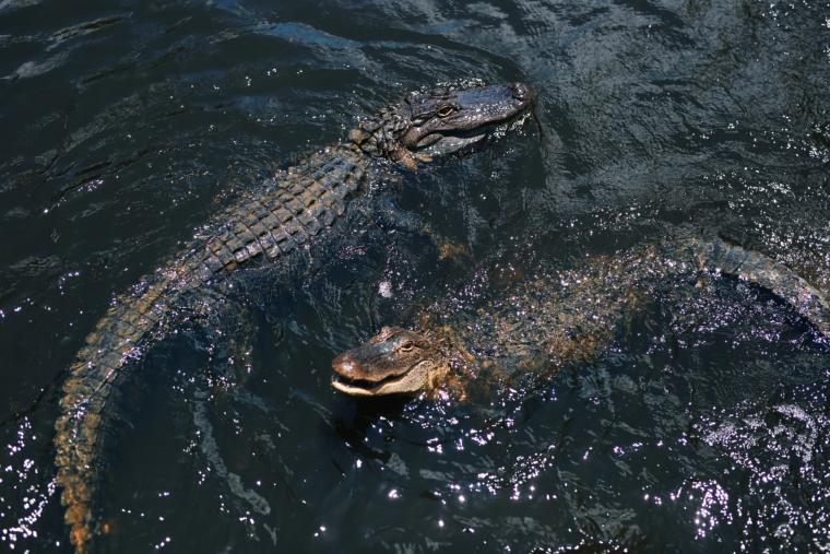 new orleans louisiana sumpf krokodil aligator