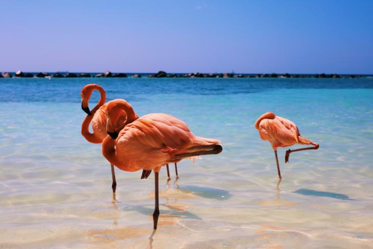 Aruba Flamingos Flamingo
