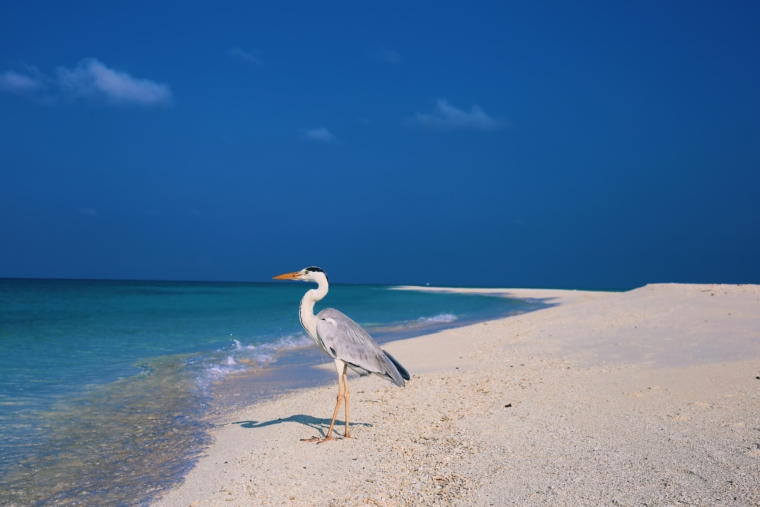 Kuramathi Maldives birds