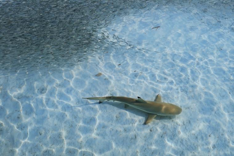 Kuramathi Maldives sharks