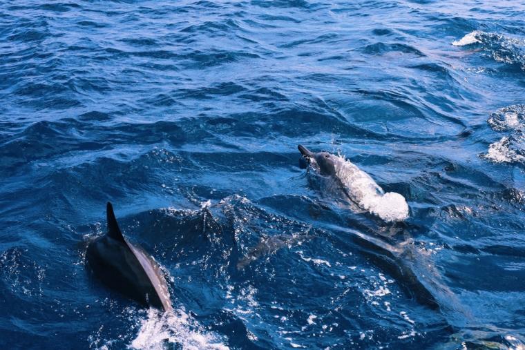 Shangri La's Villingili Resort & Spa Maldives dolphins