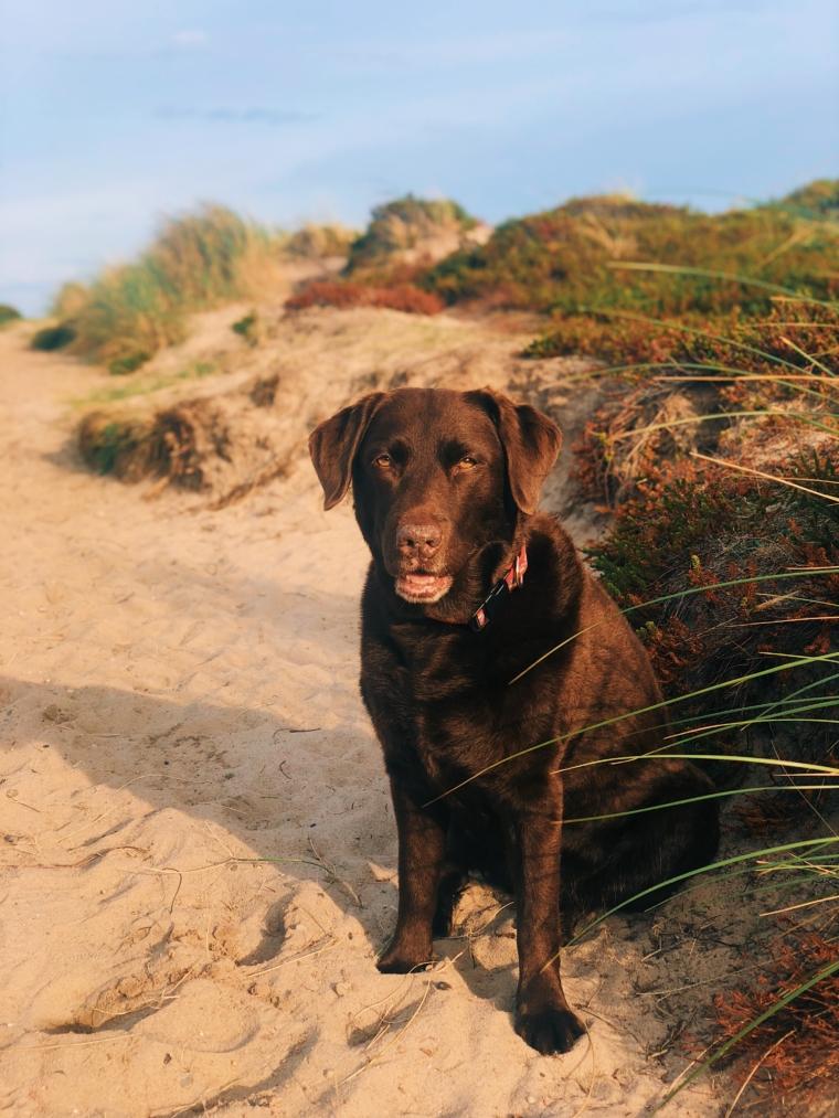 urlaub mit hund sylt labrador chocolate
