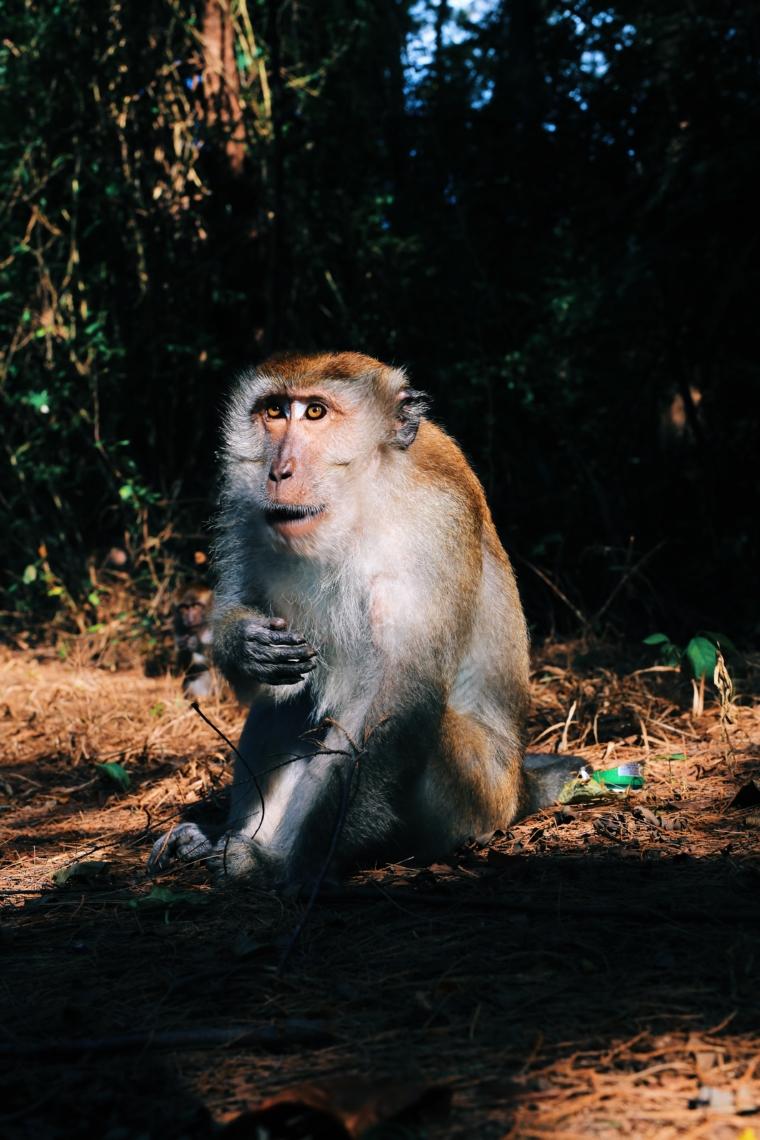malaysia langkawi monkey