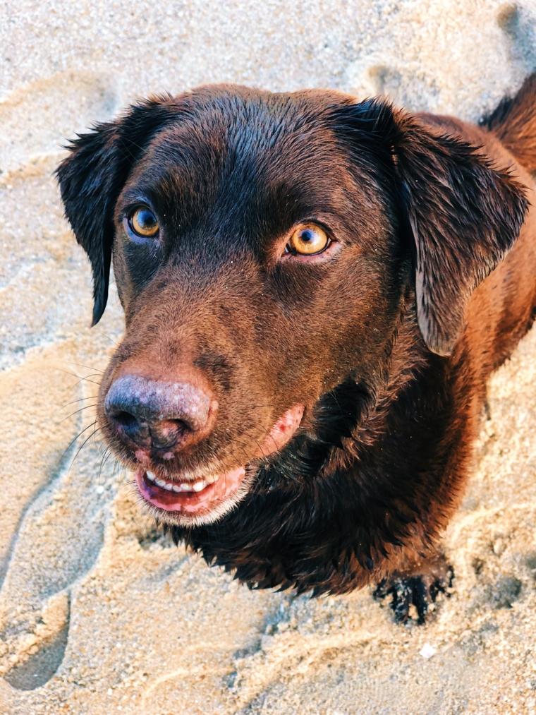 sylt labrador am strand hund