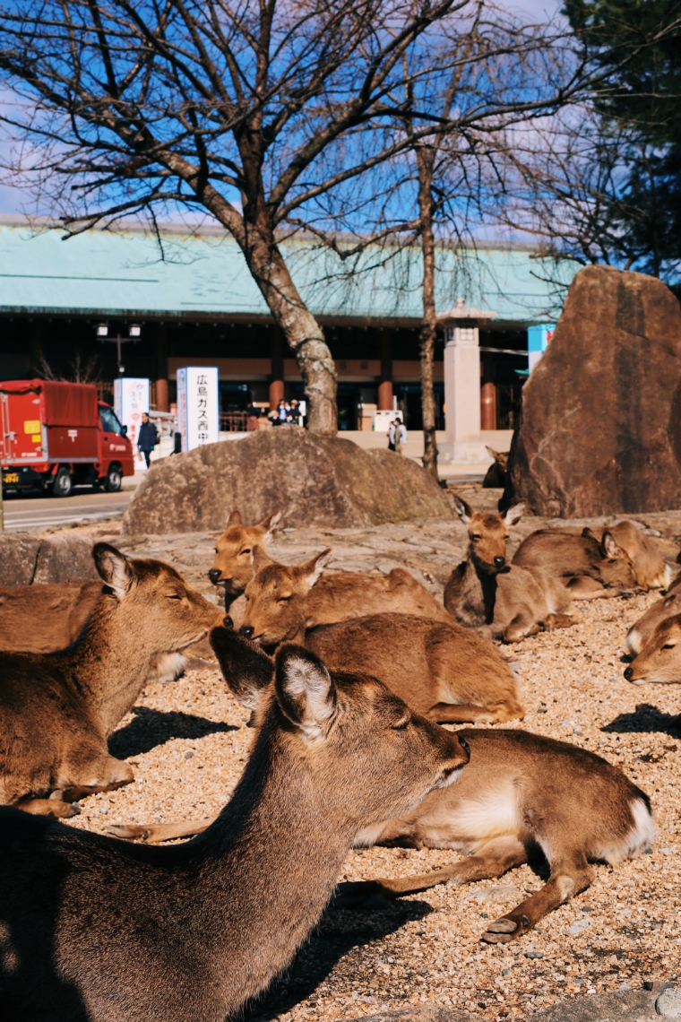 miyajima japan deer