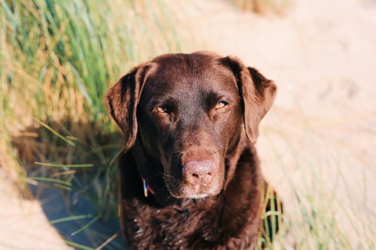 labrador chocolate sylt urlaub mit hund