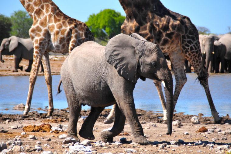 Namibia Road Trip Etosha National Park Baby Elephant Giraffes