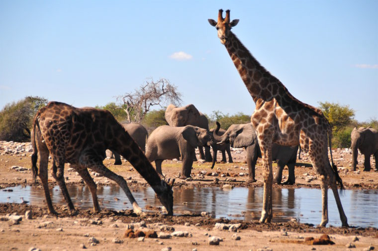 WATER HALL ETOSHA PAN ELEPHANTS GIRAFFES