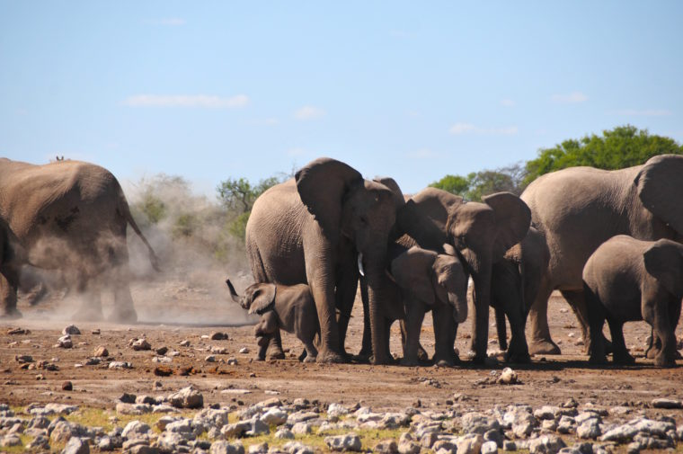 BABY ELEPHANT WITH FAMILY FIGHT NAMIBIA AFRICA ELEPHANTS