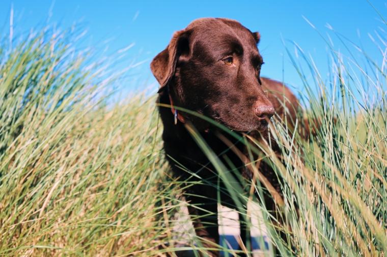 schoko labrador sylt urlaub mit hund