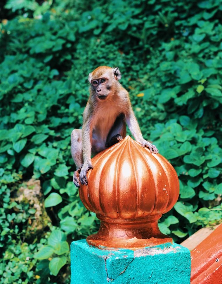 kuala lumpur batu caves monkey cute but dangerous