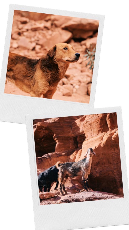 animals jordan petra