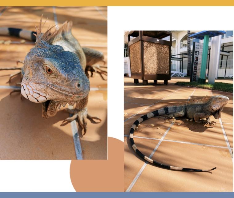 RIU Palace Aruba iguana